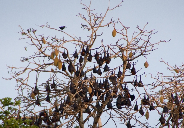 forest-Bats-Asia